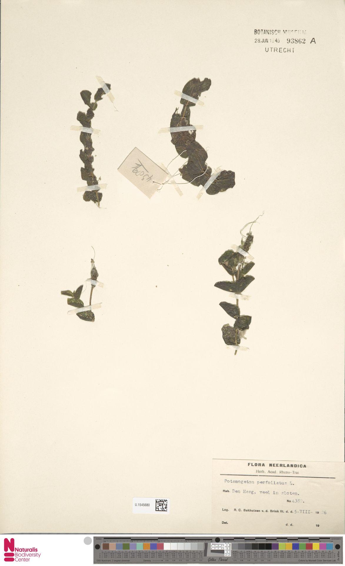 U.1545680 | Potamogeton perfoliatus L.