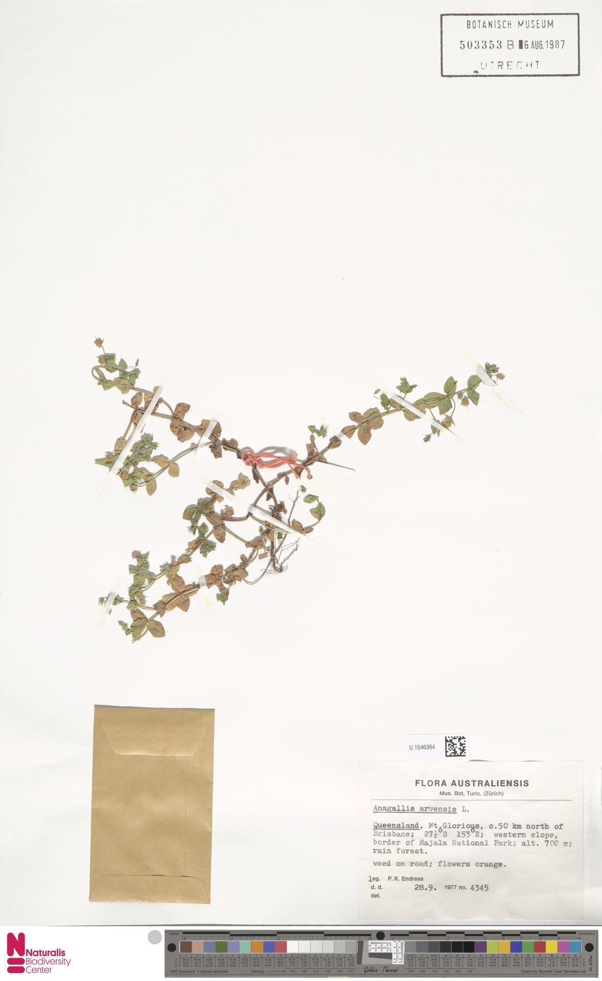 U.1546364 | Anagallis arvensis L.