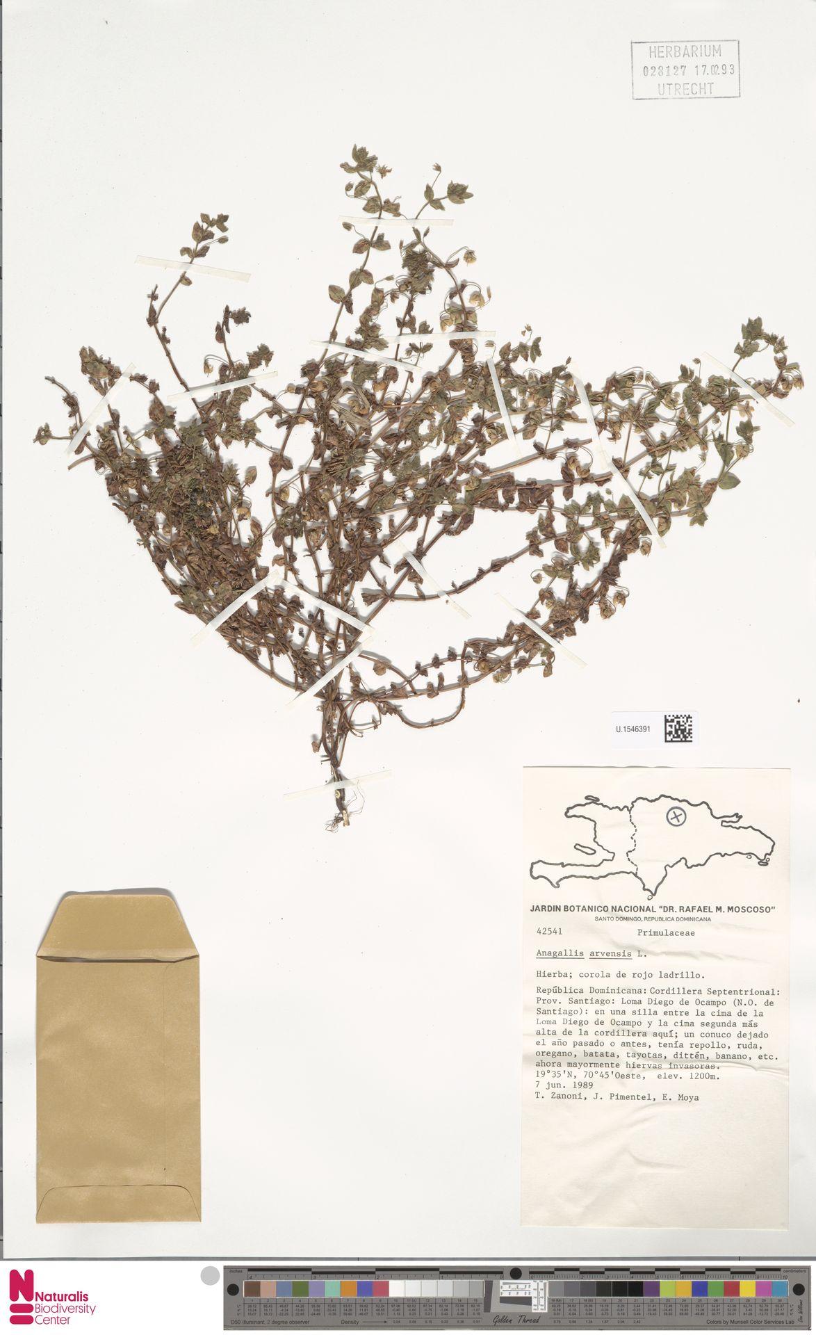 U.1546391   Anagallis arvensis L.