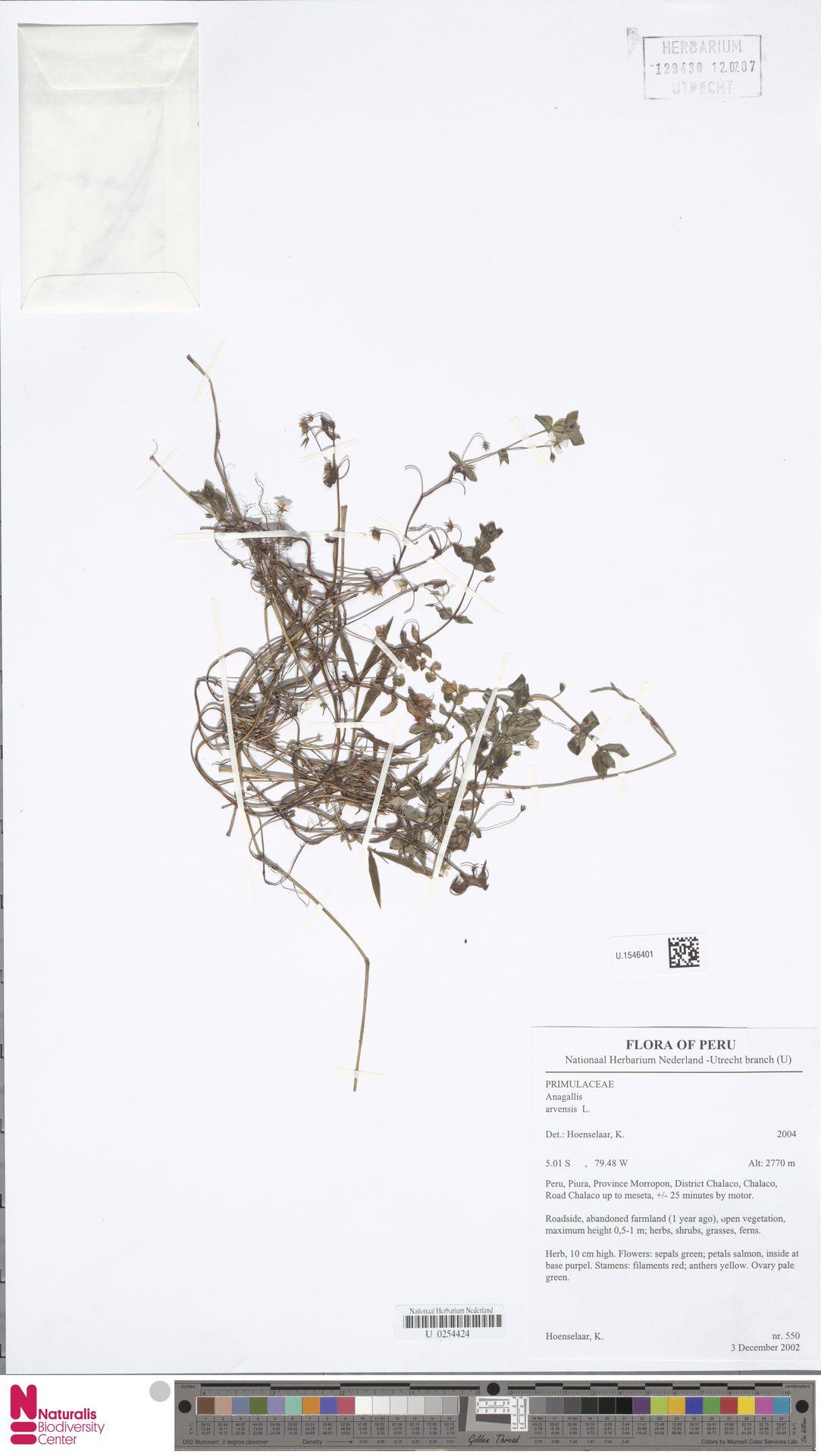 U.1546401 | Anagallis arvensis L.