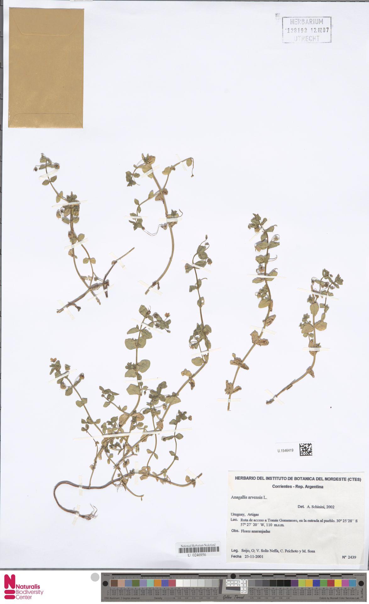 U.1546419 | Anagallis arvensis L.