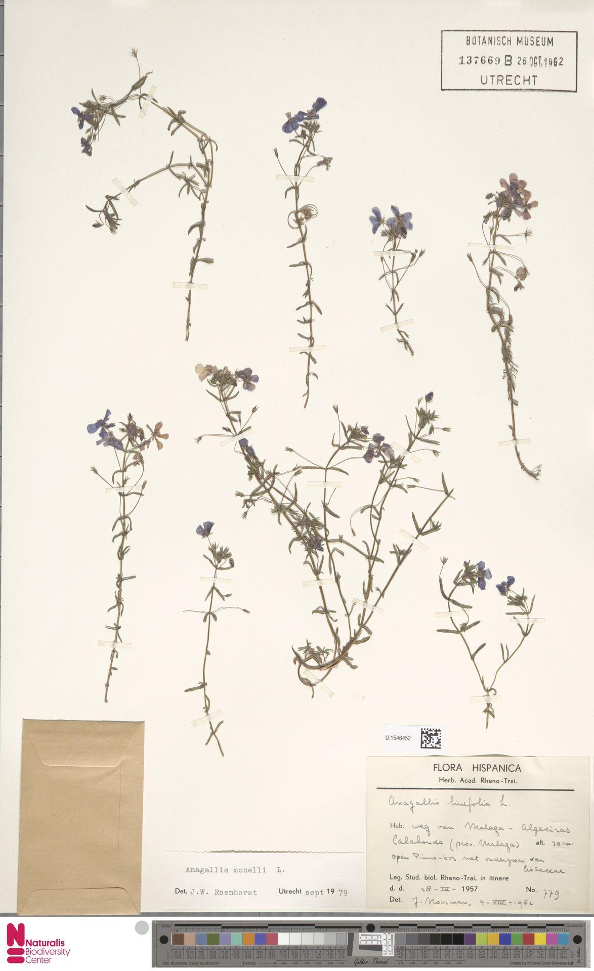 U.1546452 | Anagallis monelli L.