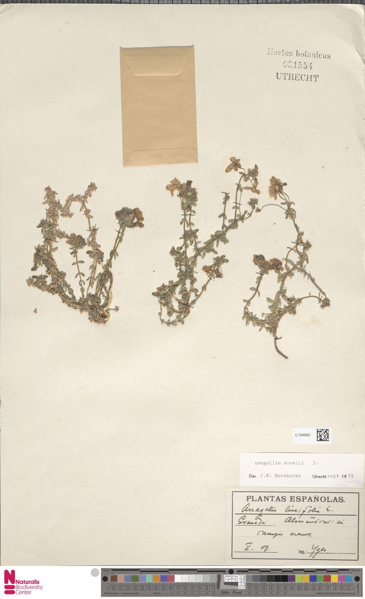 U.1546461 | Anagallis monelli L.