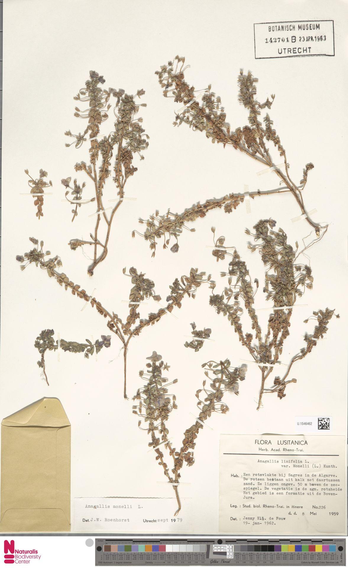 U.1546462 | Anagallis monelli L.