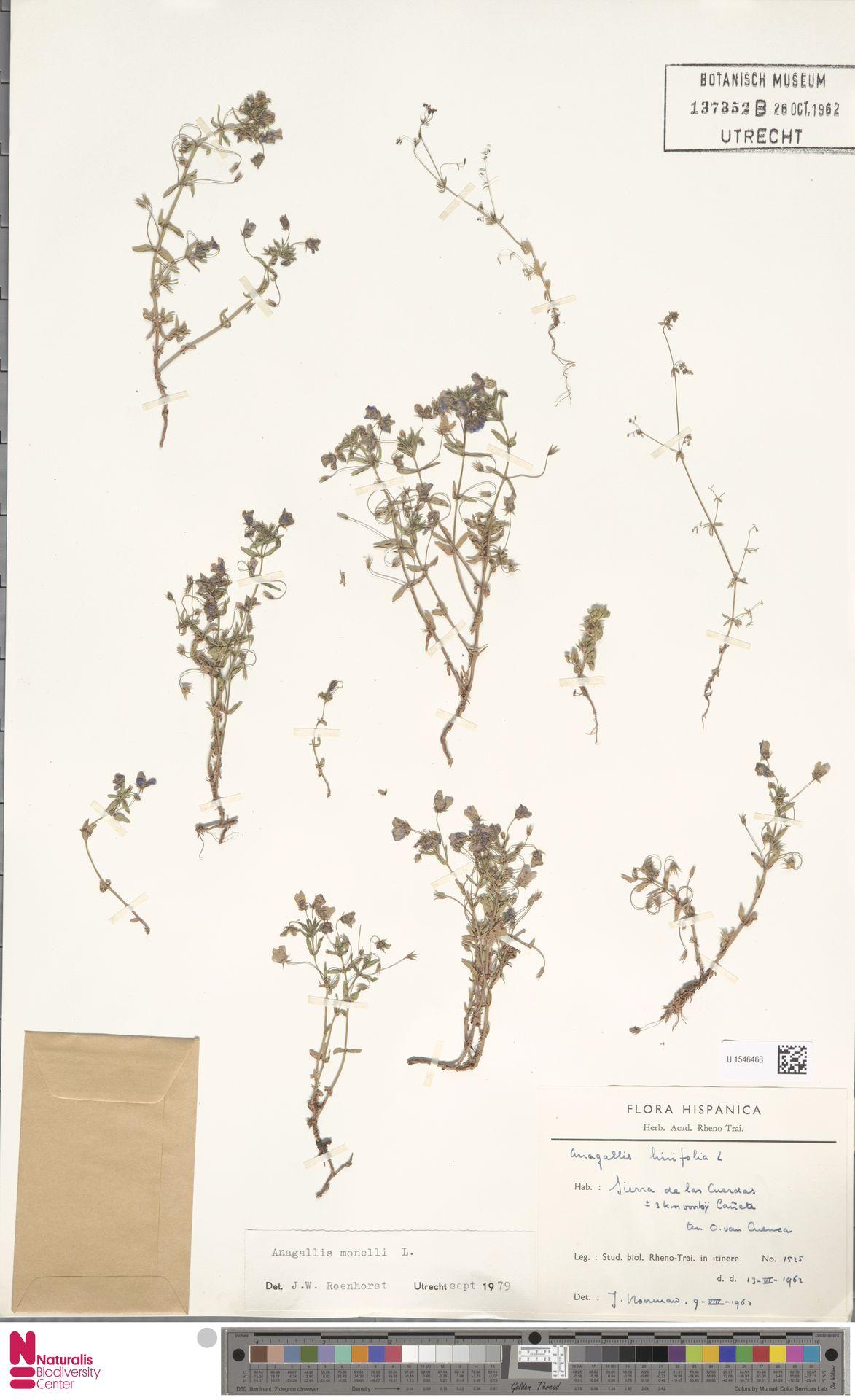 U.1546463 | Anagallis monelli L.