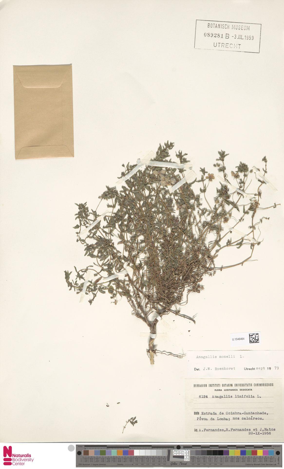 U.1546464 | Anagallis monelli L.