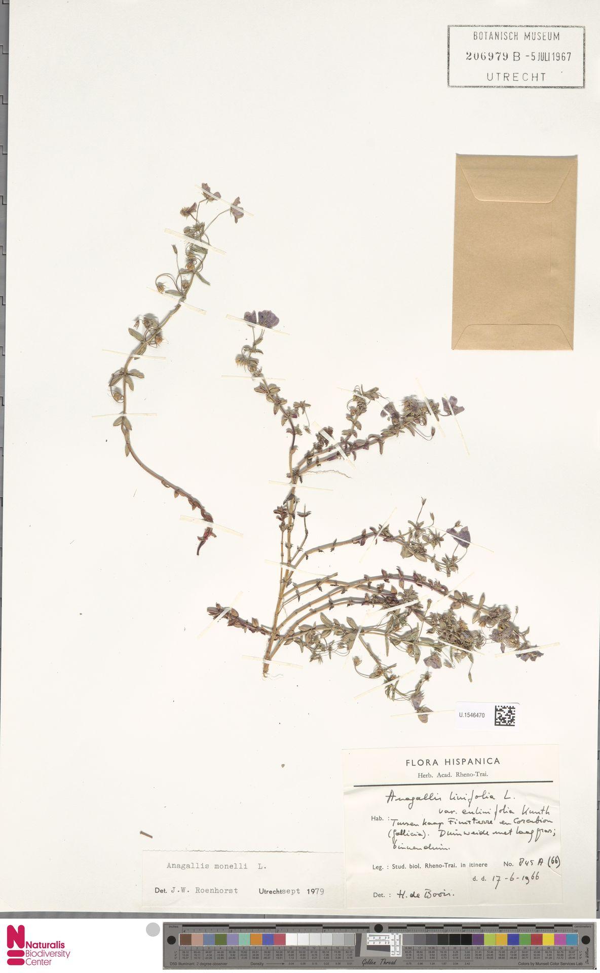 U.1546470 | Anagallis monelli L.