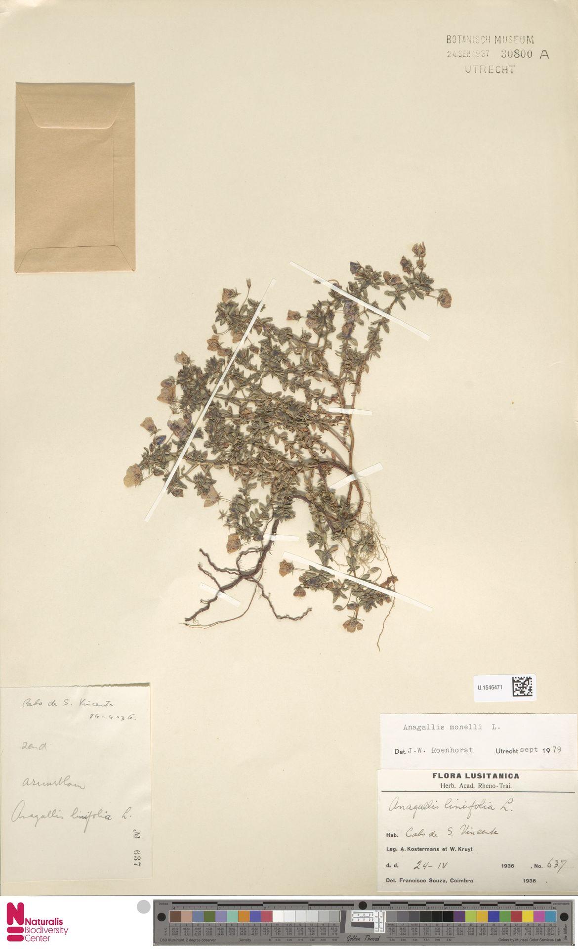U.1546471   Anagallis monelli L.