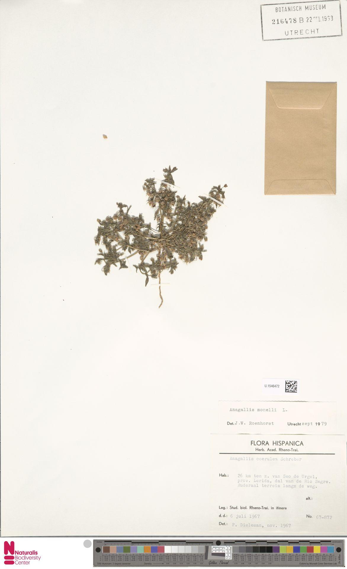 U.1546472 | Anagallis monelli L.