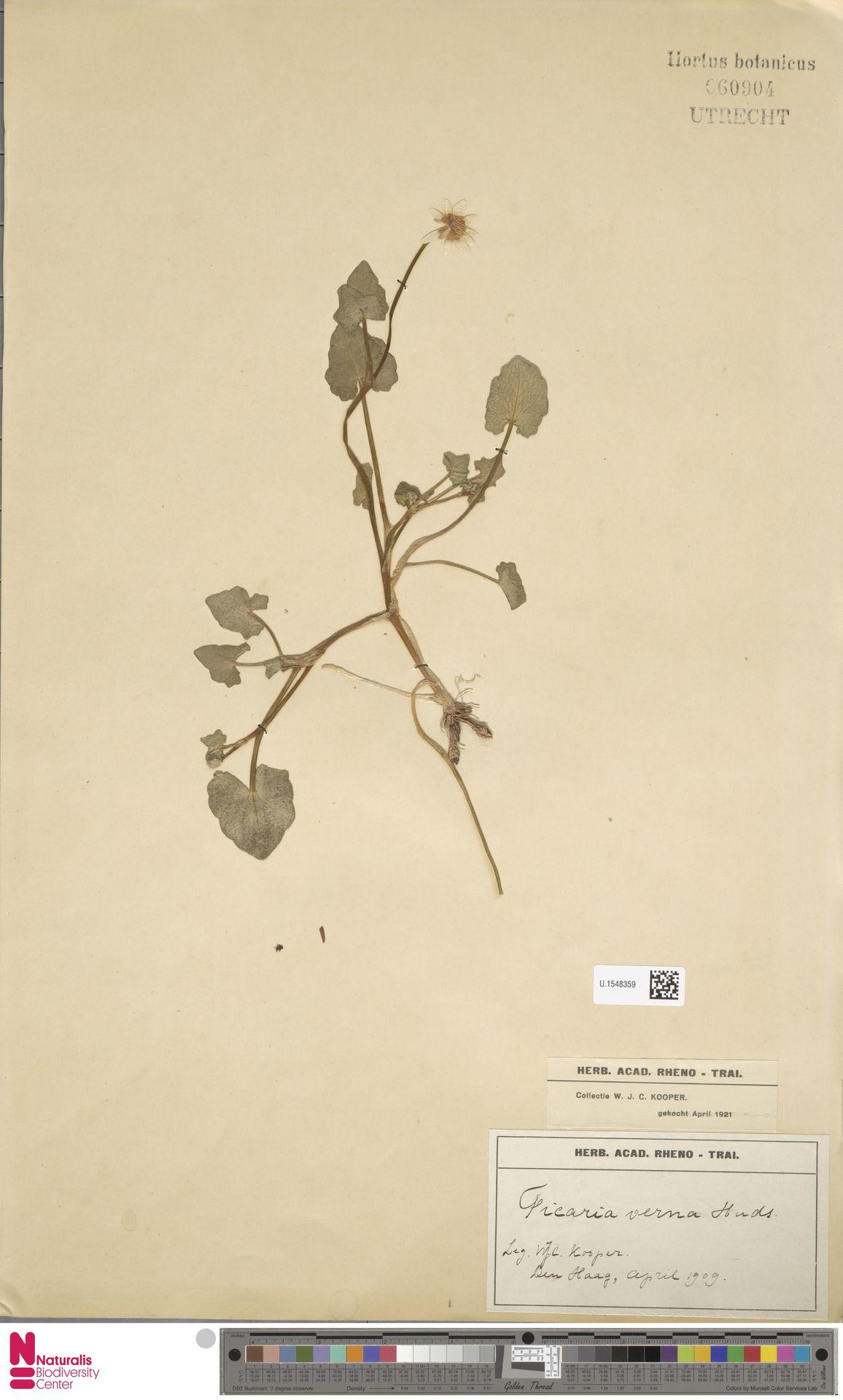 U.1548359 | Ficaria verna Huds.