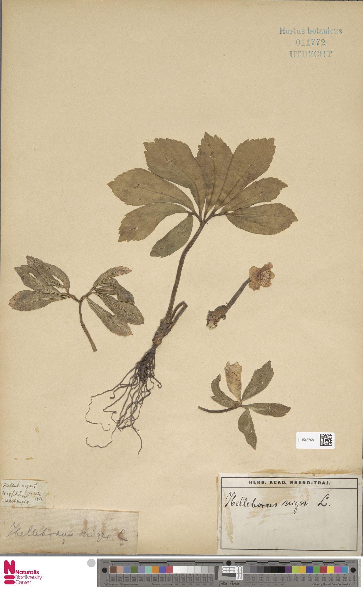 U.1548768 | Helleborus niger L.