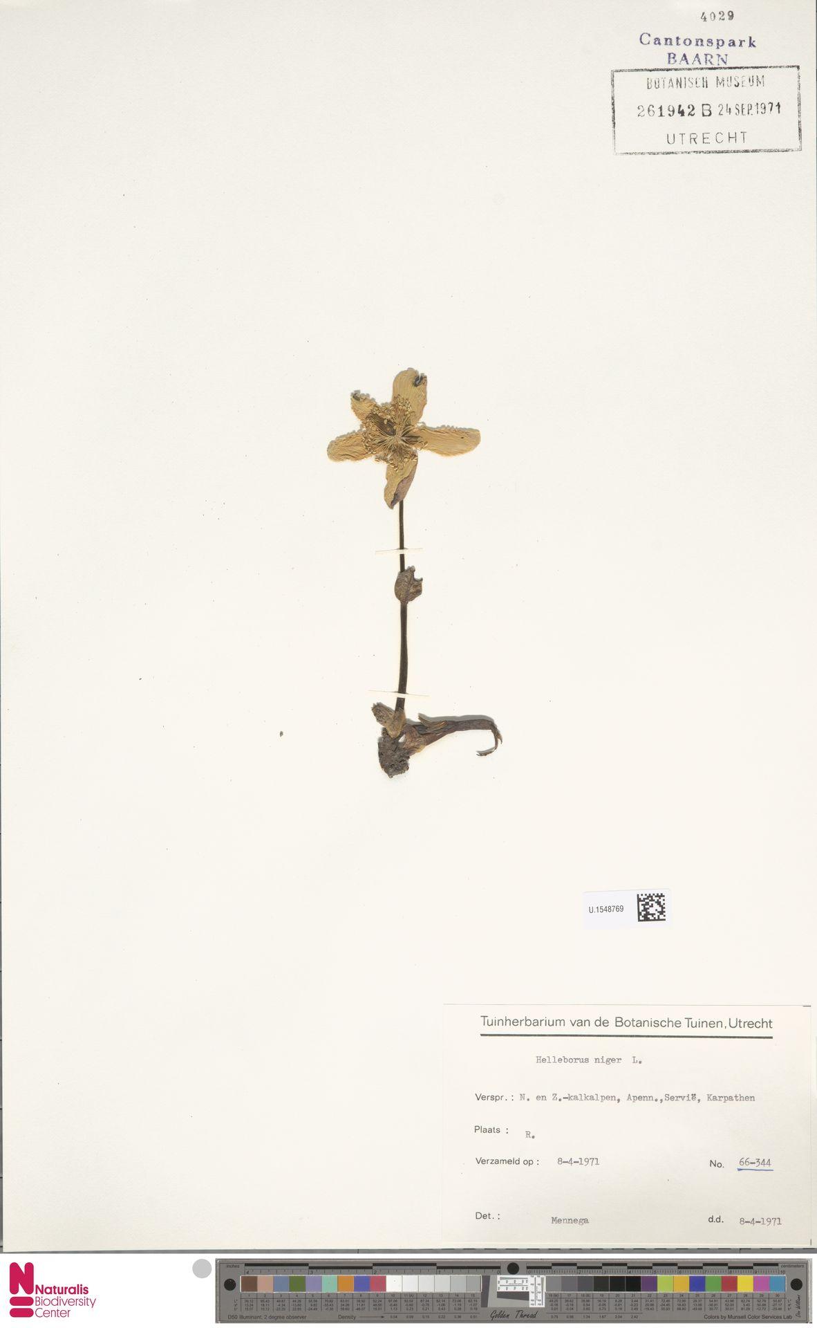 U.1548769   Helleborus niger L.
