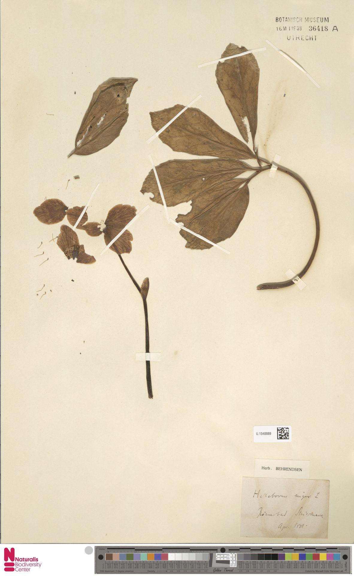 U.1548889 | Helleborus niger L.