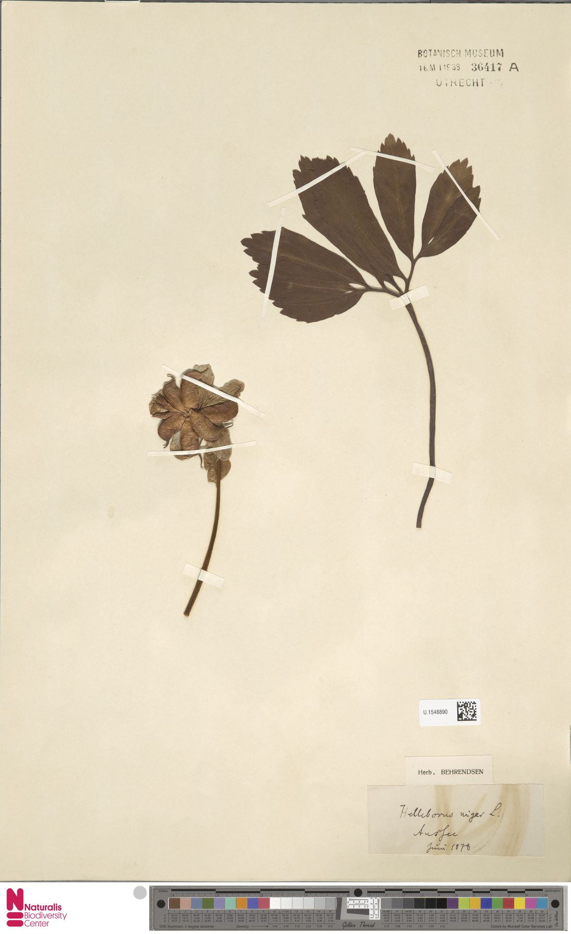 U.1548890 | Helleborus niger L.