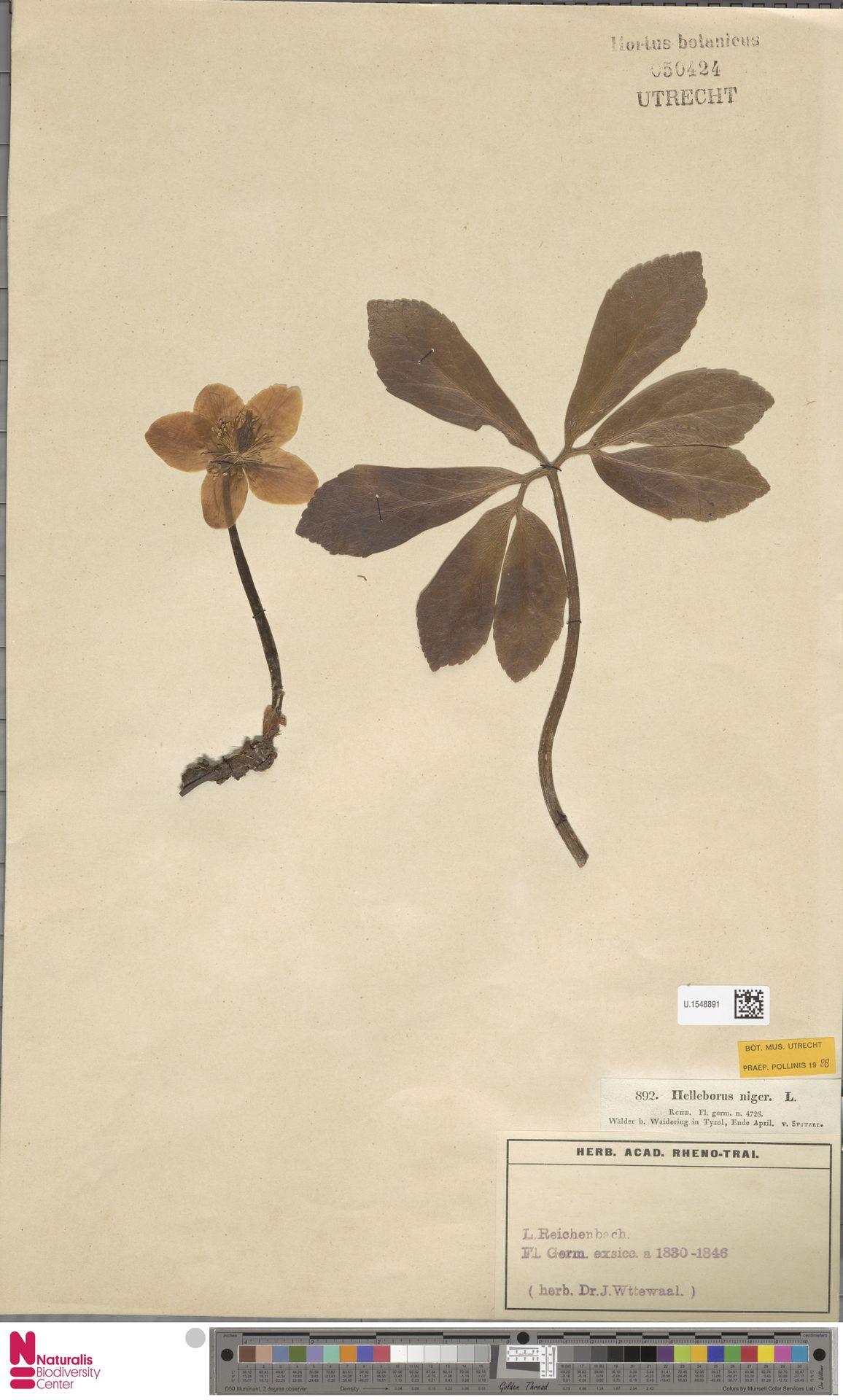 U.1548891 | Helleborus niger L.