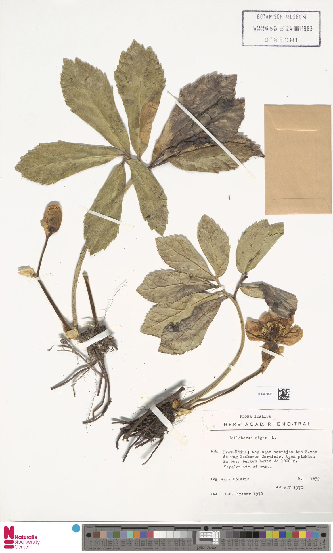 U.1548893 | Helleborus niger L.