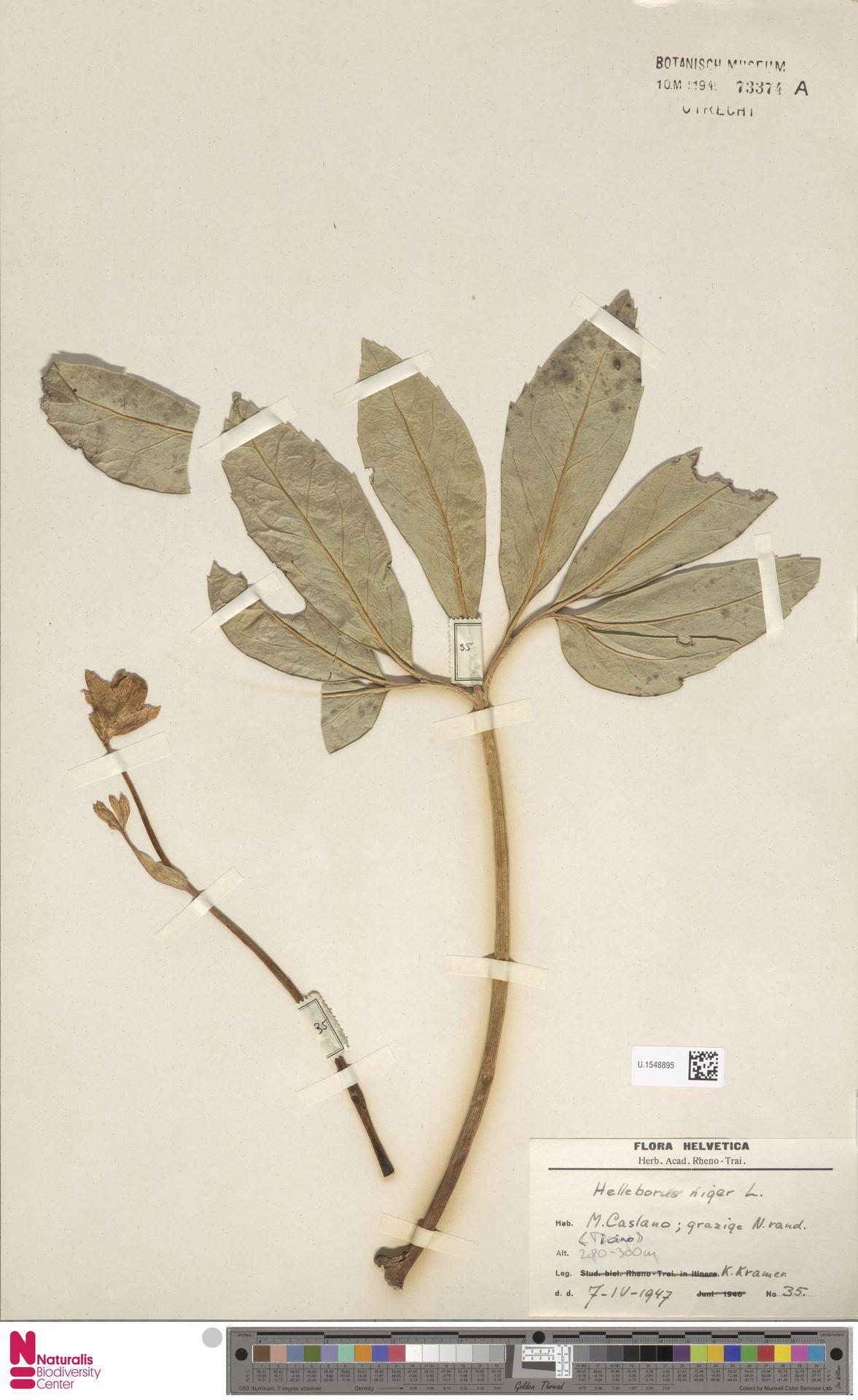 U.1548895 | Helleborus niger L.
