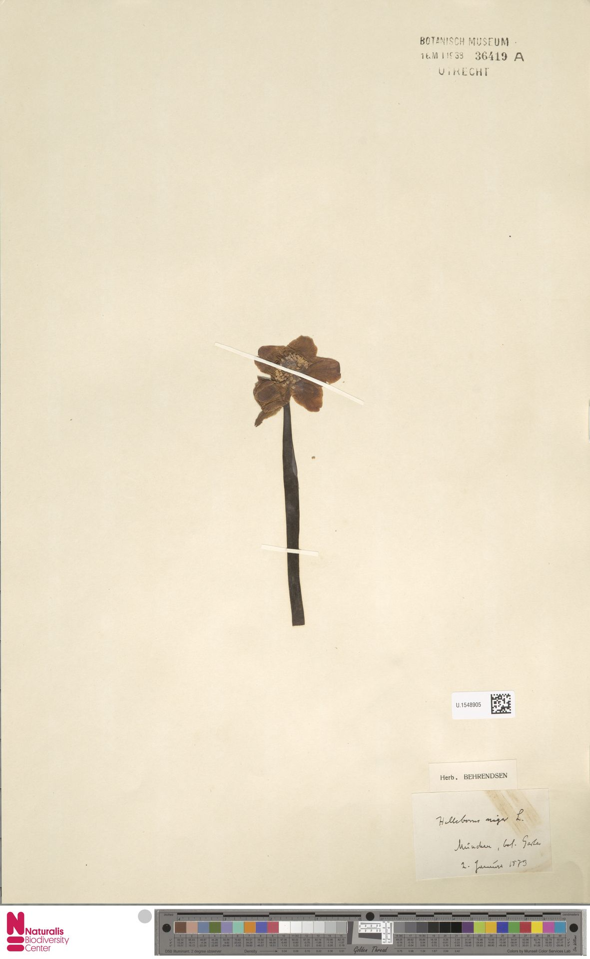 U.1548905 | Helleborus niger L.