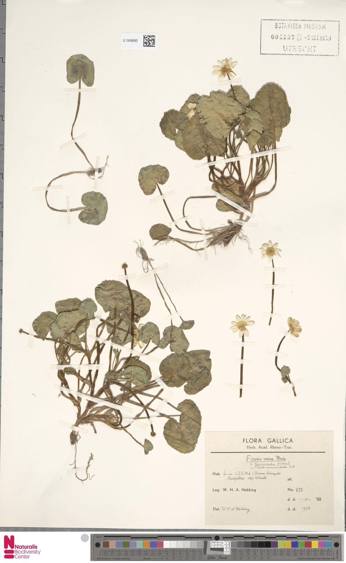 U.1549092   Ficaria verna Huds.