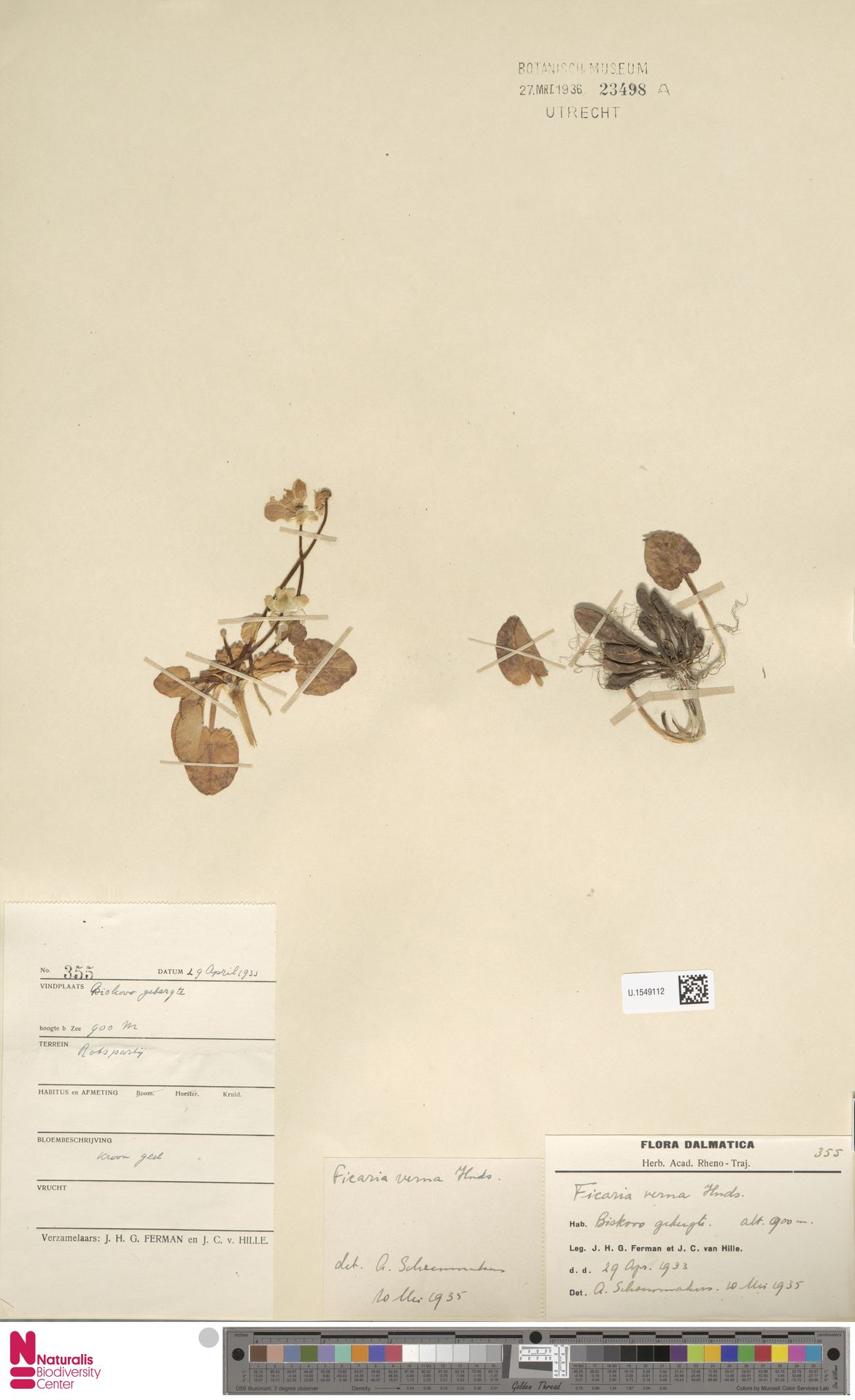 U.1549112 | Ficaria verna Huds.