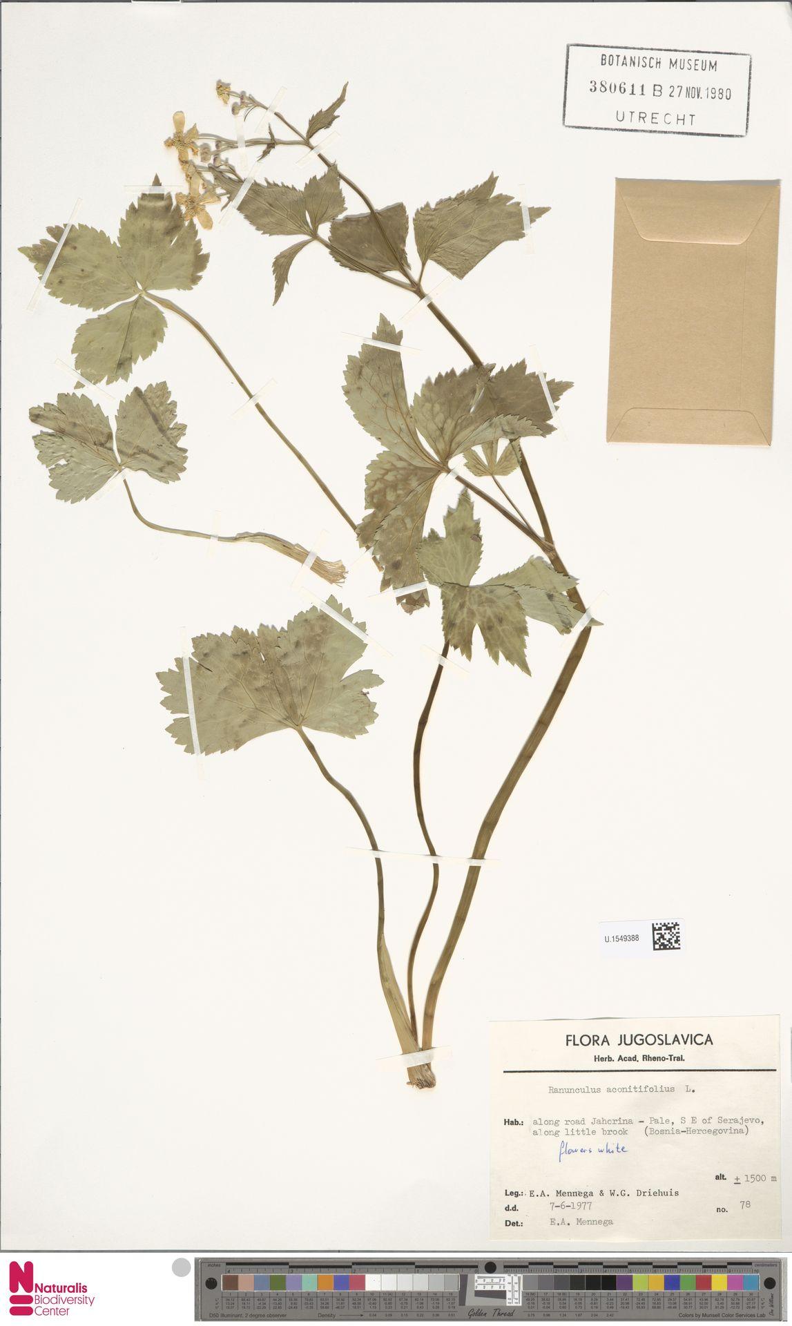 U.1549388 | Ranunculus aconitifolius L.