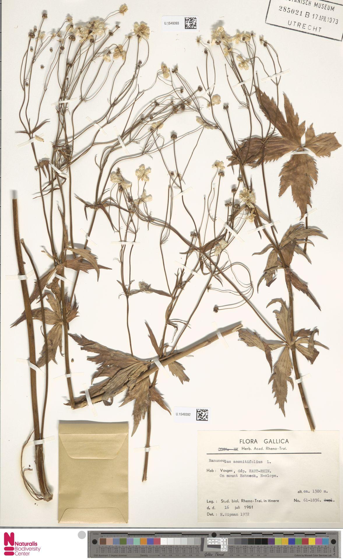 U.1549393   Ranunculus aconitifolius L.
