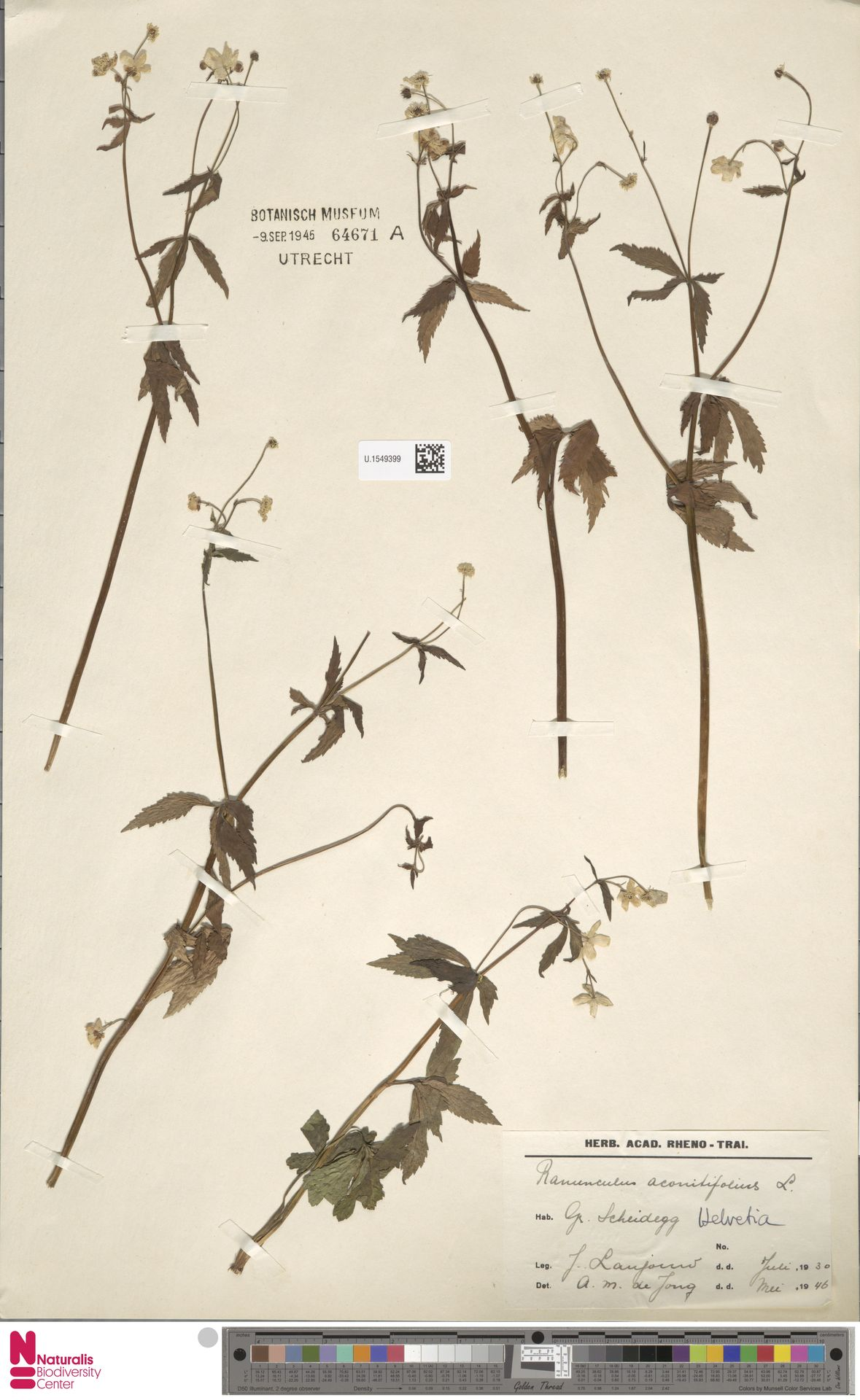 U.1549399   Ranunculus aconitifolius L.