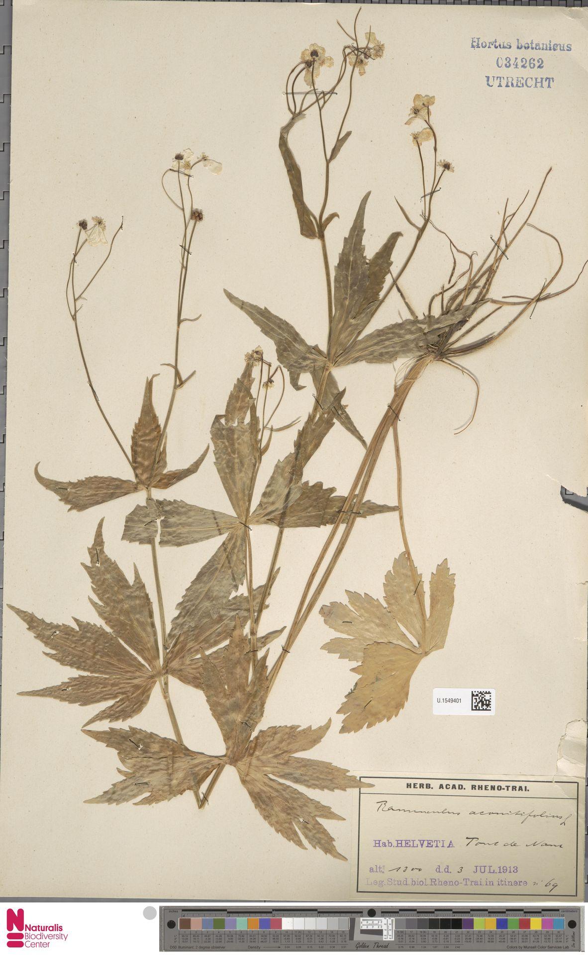 U.1549401 | Ranunculus aconitifolius L.