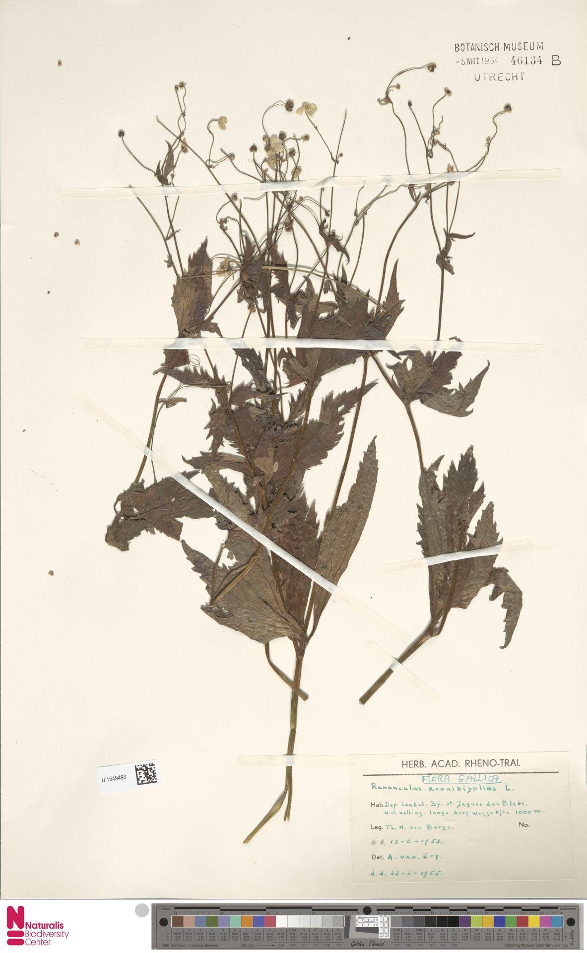 U.1549493   Ranunculus aconitifolius L.