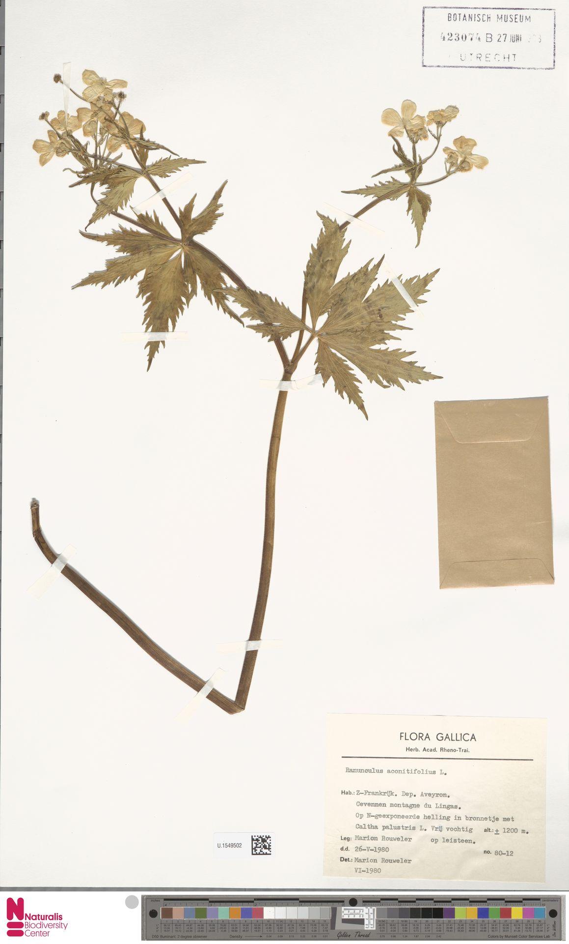 U.1549502 | Ranunculus aconitifolius L.