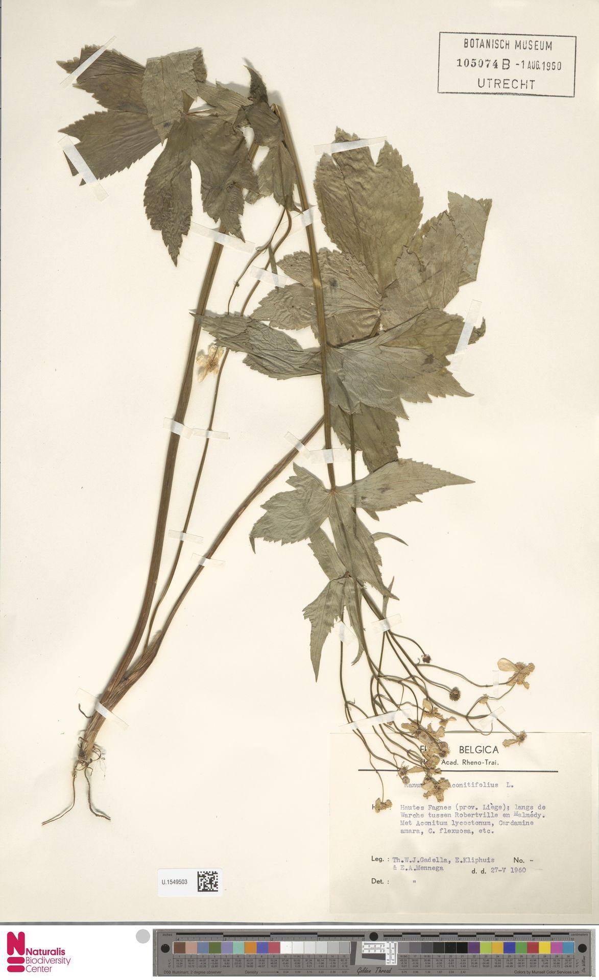 U.1549503   Ranunculus aconitifolius L.