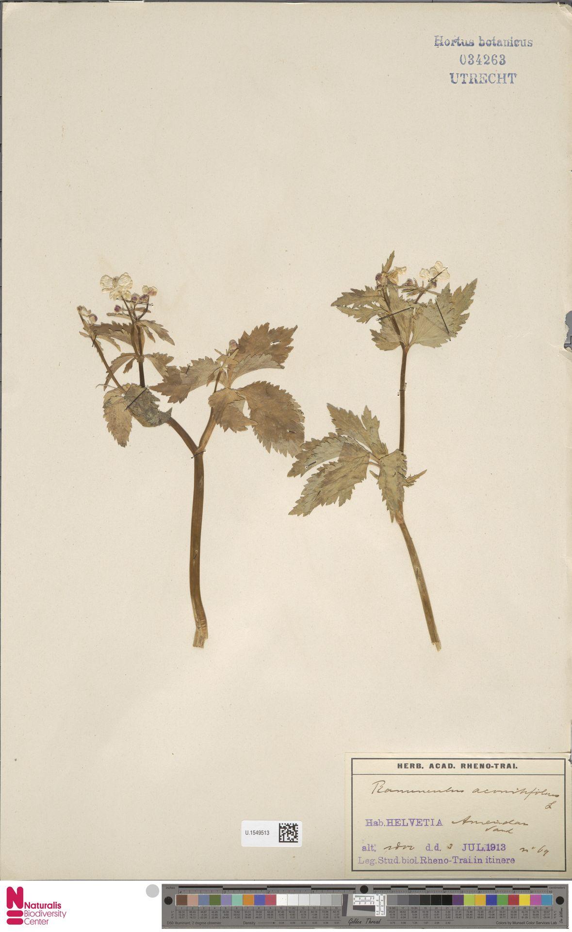 U.1549513 | Ranunculus aconitifolius L.