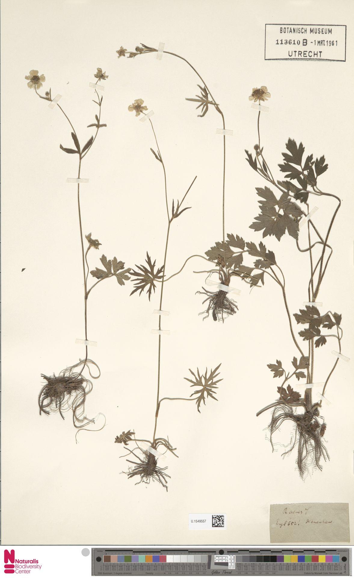 U.1549557 | Ranunculus acris L.