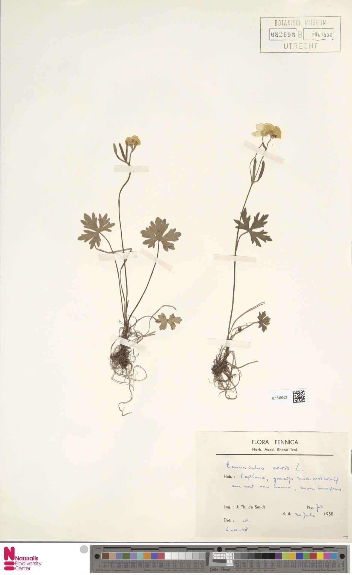 U.1549563 | Ranunculus acris L.