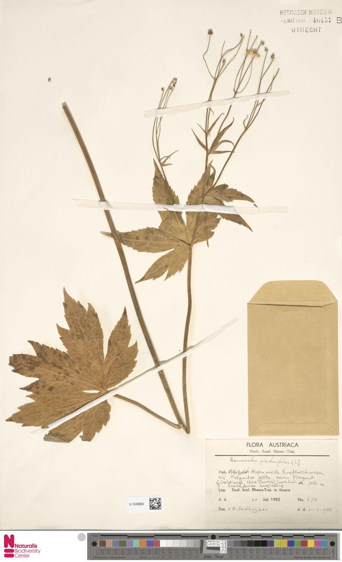 U.1549983 | Ranunculus platanifolius L.