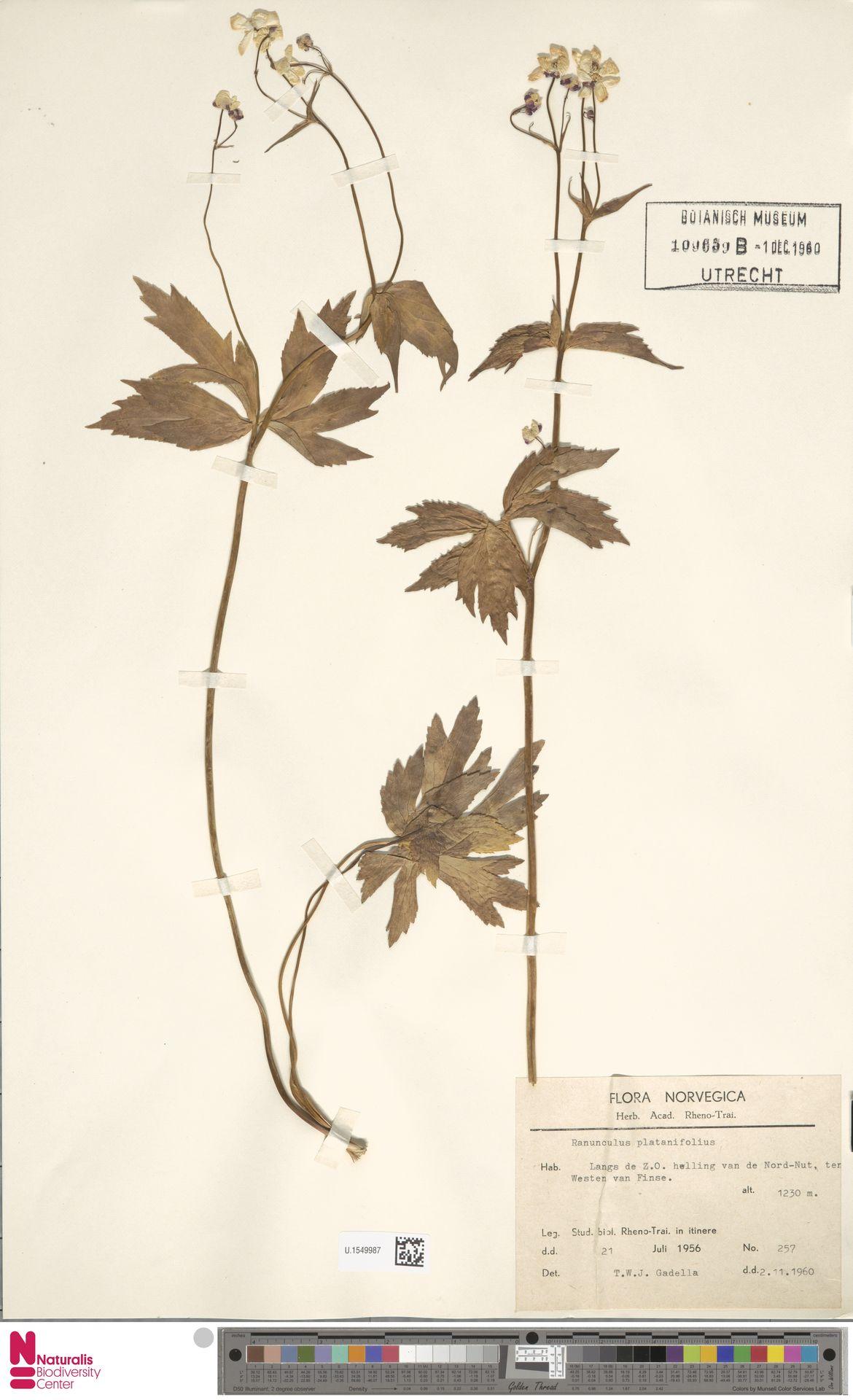 U.1549987 | Ranunculus platanifolius L.