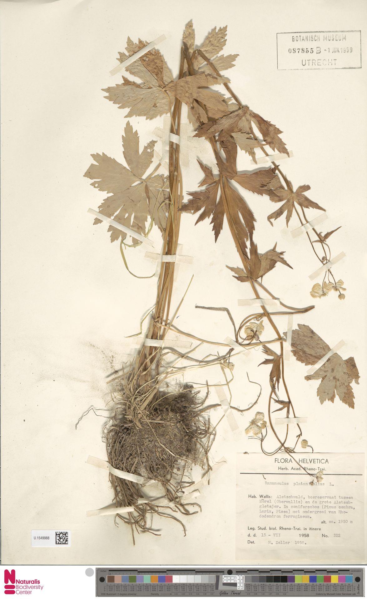 U.1549988 | Ranunculus platanifolius L.