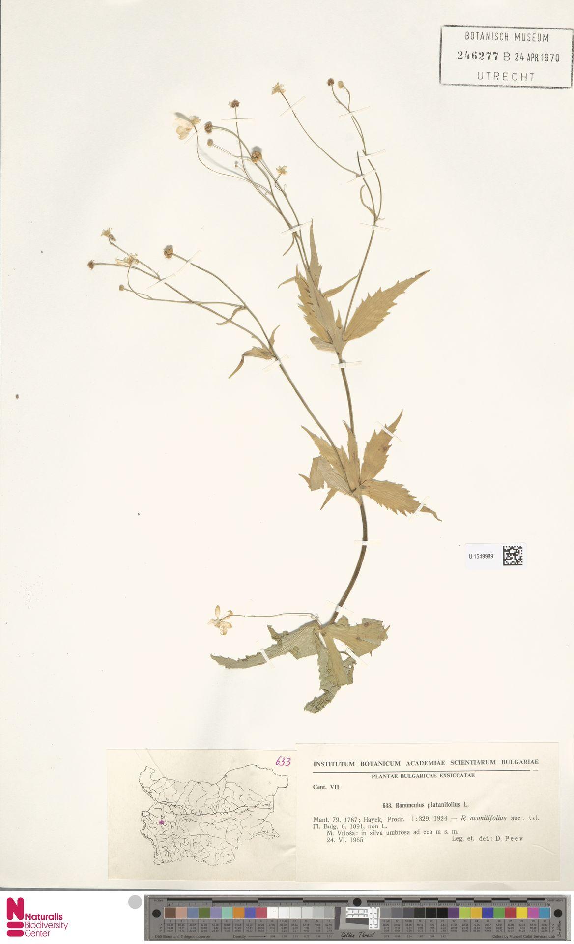 U.1549989   Ranunculus platanifolius L.