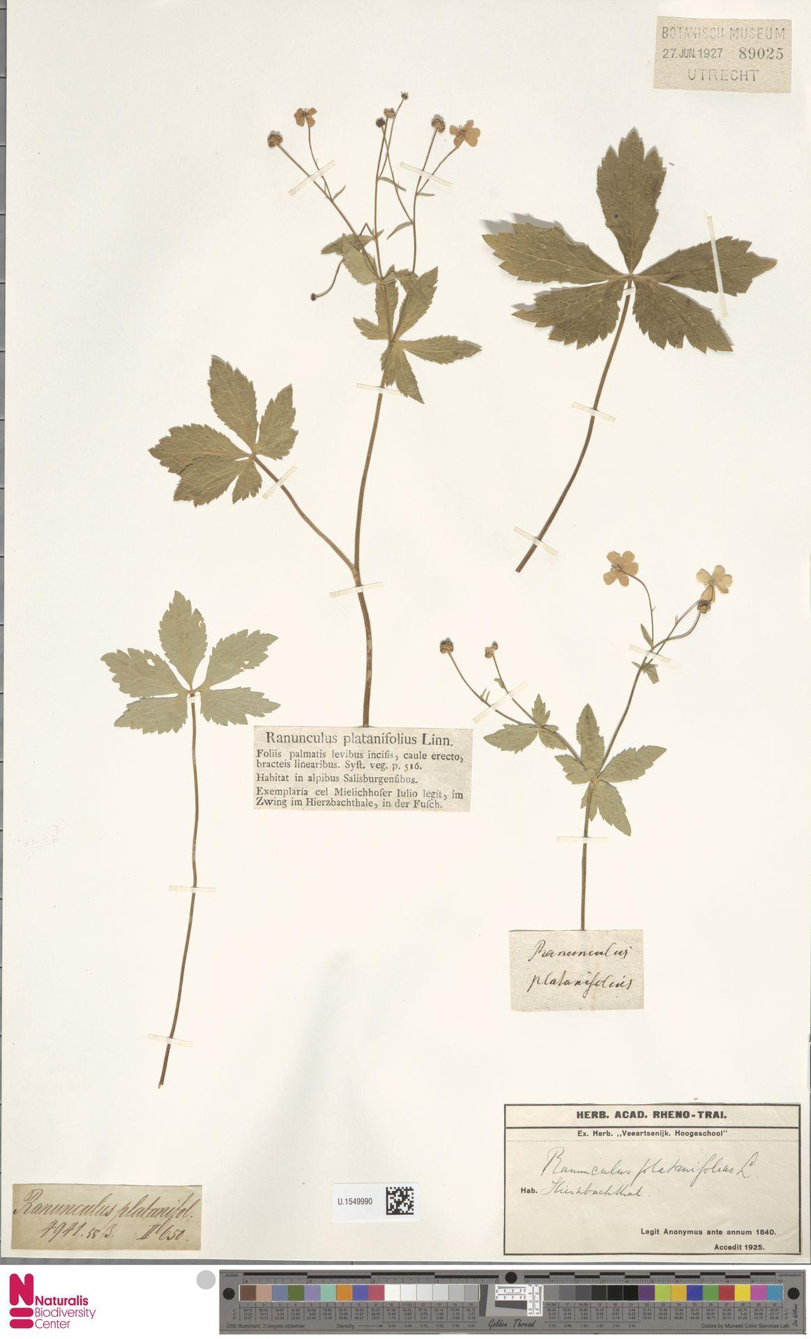U.1549990 | Ranunculus platanifolius L.