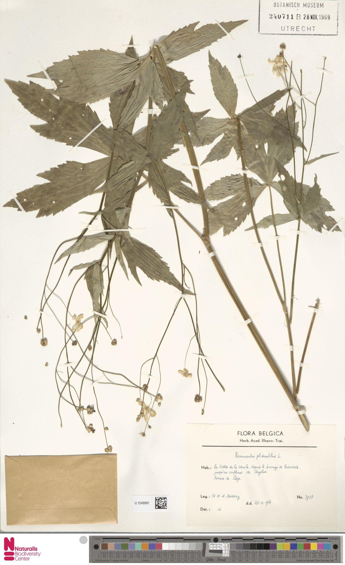 U.1549991 | Ranunculus platanifolius L.