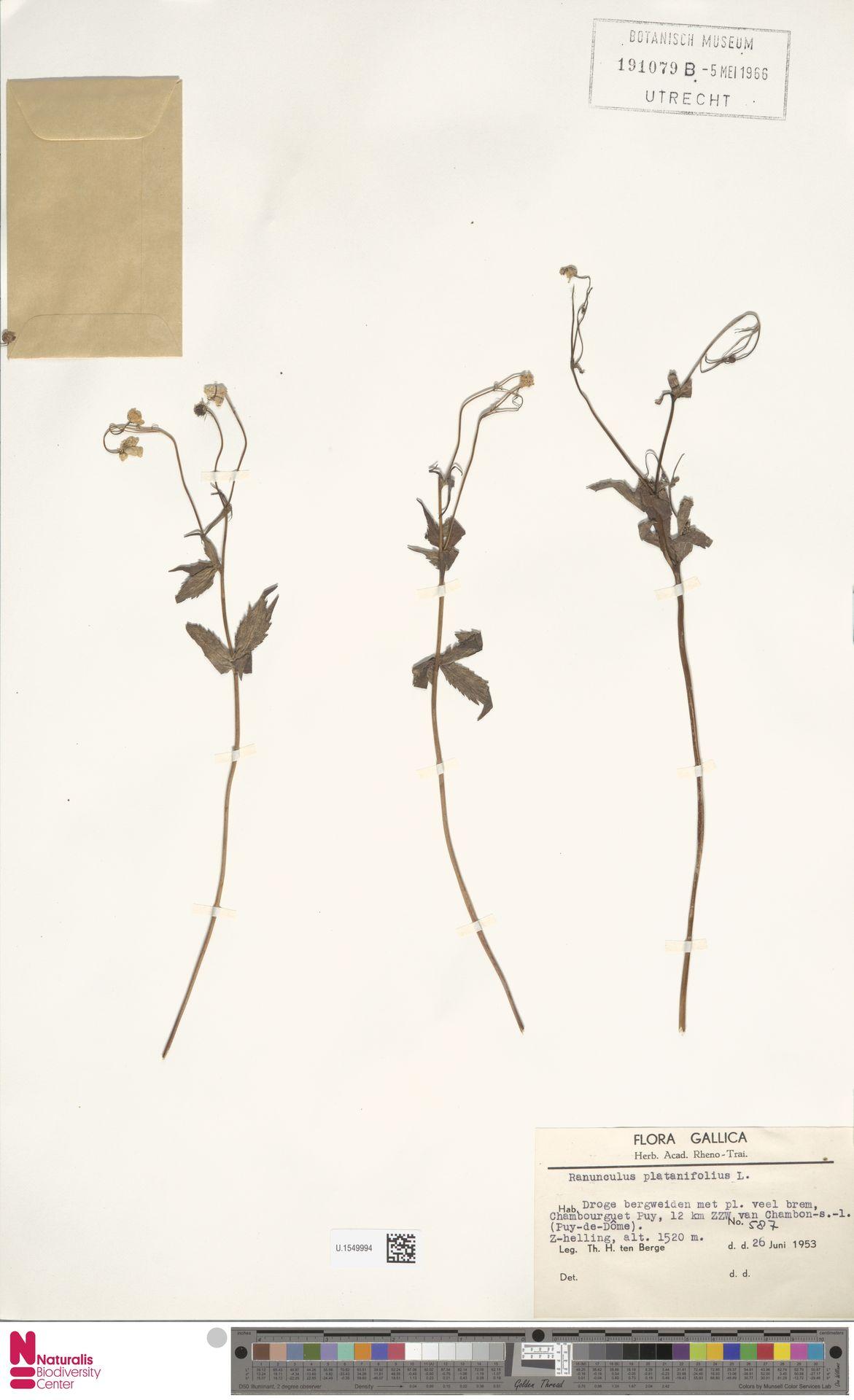 U.1549994   Ranunculus platanifolius L.