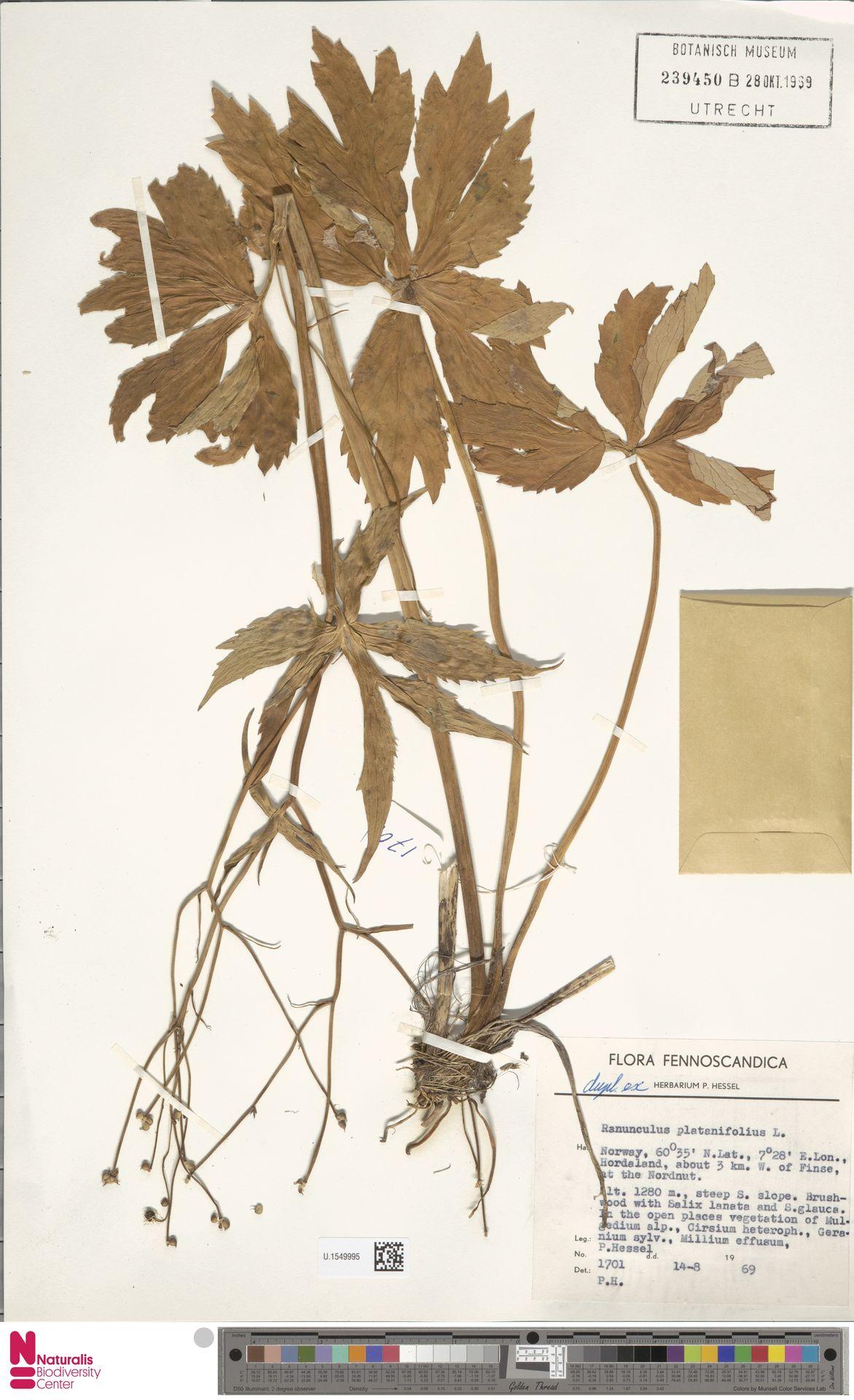 U.1549995 | Ranunculus platanifolius L.