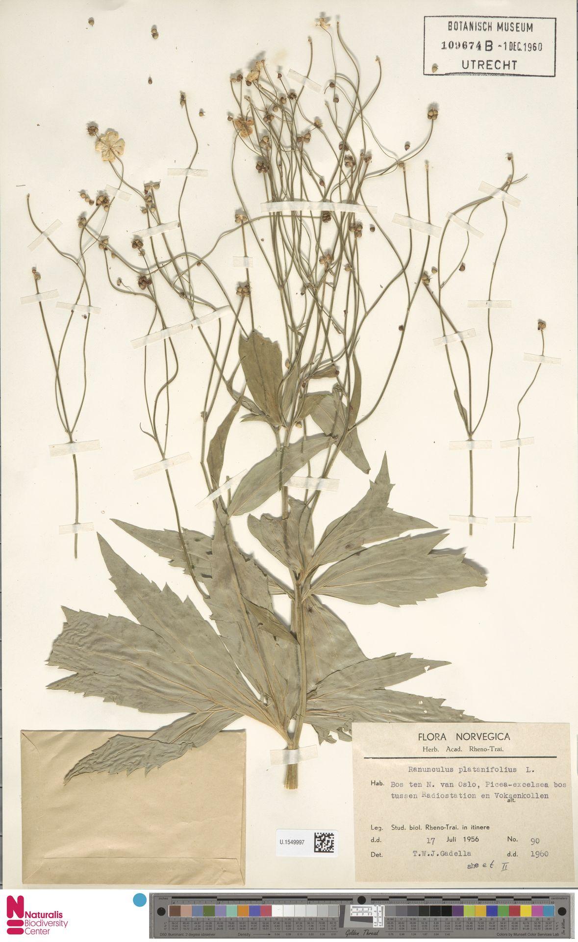 U.1549997 | Ranunculus platanifolius L.