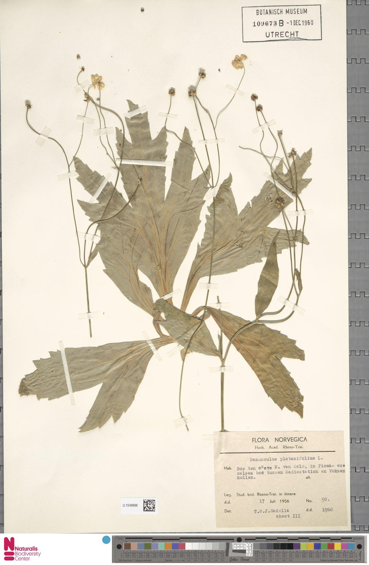 U.1549998 | Ranunculus platanifolius L.