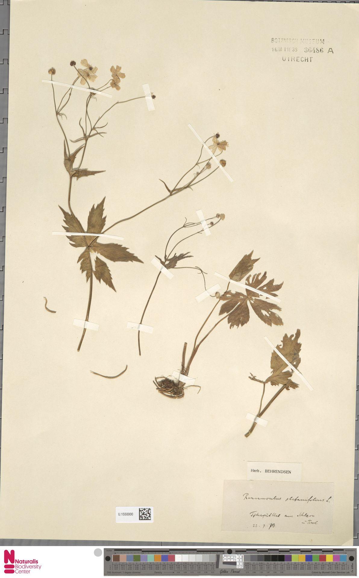 U.1550000 | Ranunculus platanifolius L.