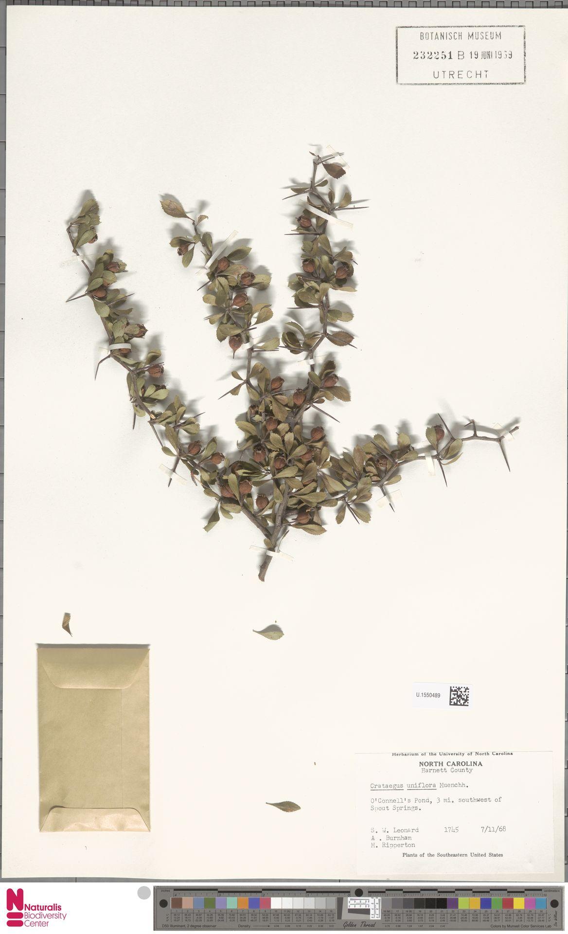 U.1550489 | Crataegus uniflora Münchh.