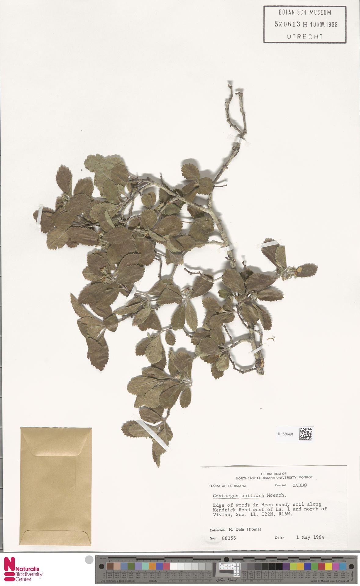 U.1550491 | Crataegus uniflora Münchh.