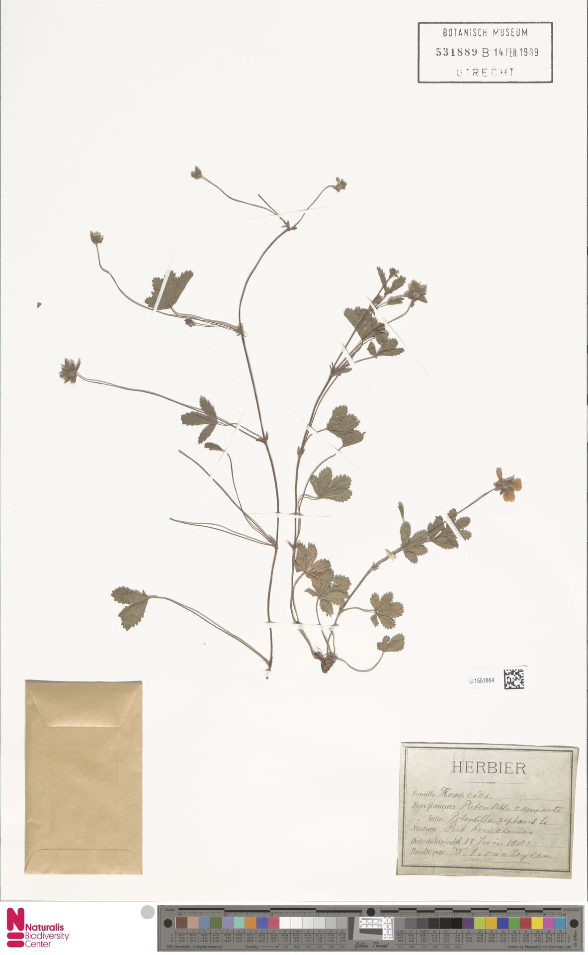 U.1551864 | Potentilla reptans L.