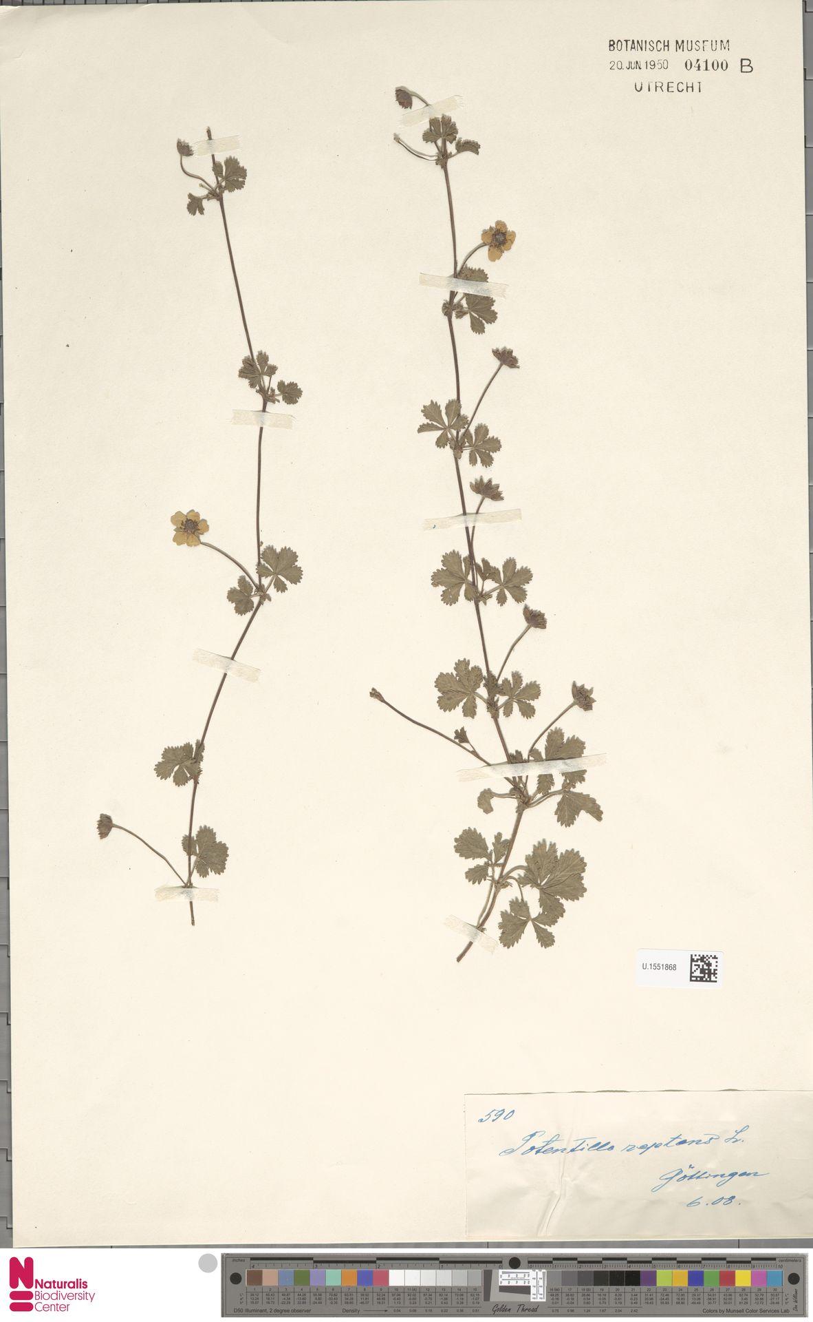 U.1551868 | Potentilla reptans L.