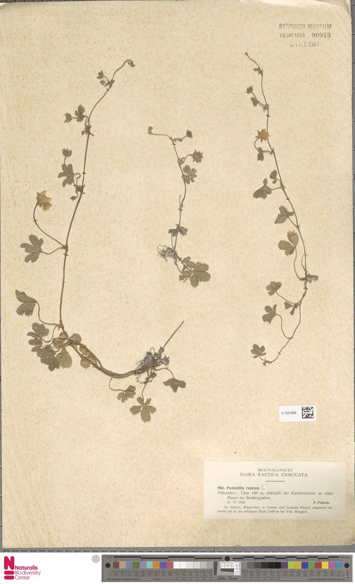 U.1551869 | Potentilla reptans L.